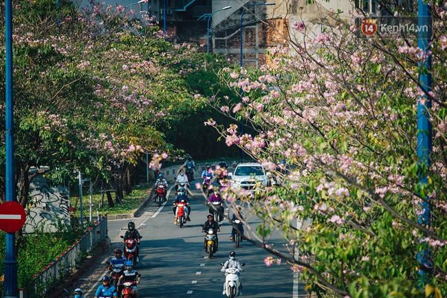 Sài Gòn trong mùa hoa kèn hồng nở rộ, khắp phố phường như đang vào xuân - Ảnh 1.
