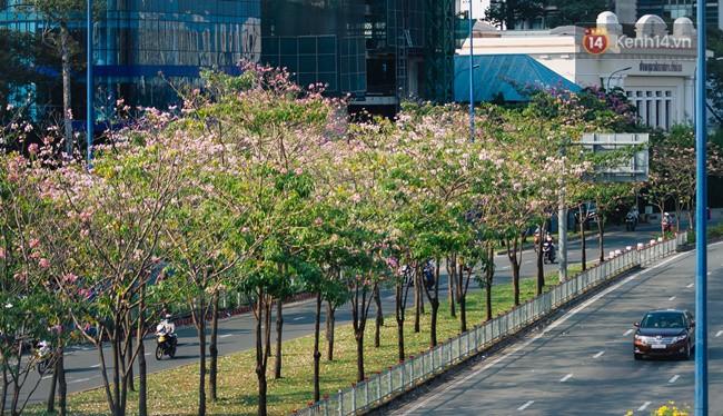 Sài Gòn trong mùa hoa kèn hồng nở rộ, khắp phố phường như đang vào xuân - Ảnh 10.