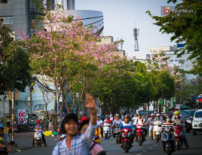 Sài Gòn trong mùa hoa kèn hồng nở rộ, khắp phố phường như đang vào xuân - Ảnh 6.