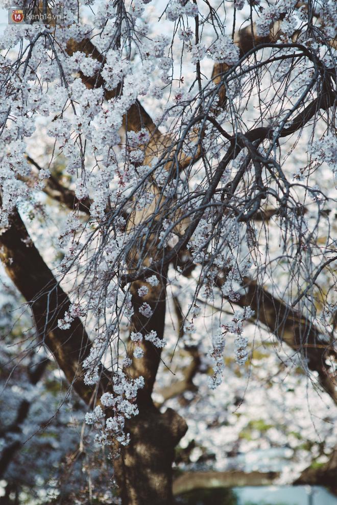 Mùa hoa anh đào ở Nhật Bản, cứ bước ra đường là góc nào cũng đẹp! - Ảnh 12.