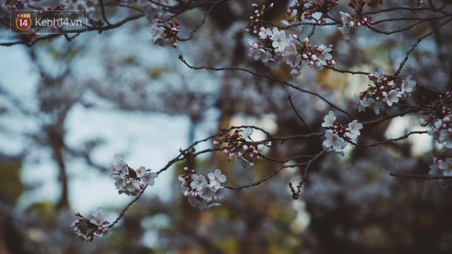 Mùa hoa anh đào ở Nhật Bản, cứ bước ra đường là góc nào cũng đẹp! - Ảnh 8.
