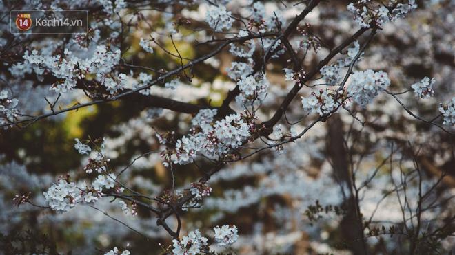 Mùa hoa anh đào ở Nhật Bản, cứ bước ra đường là góc nào cũng đẹp! - Ảnh 9.