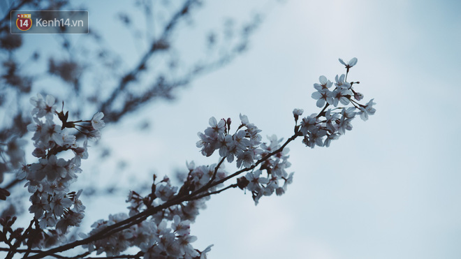 Mùa hoa anh đào ở Nhật Bản, cứ bước ra đường là góc nào cũng đẹp! - Ảnh 10.