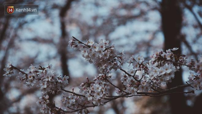 Mùa hoa anh đào ở Nhật Bản, cứ bước ra đường là góc nào cũng đẹp! - Ảnh 11.