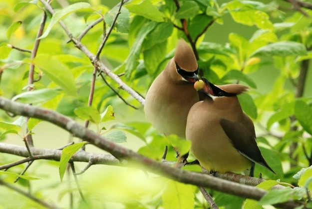 Tiết lộ thú vị từ khoa học: Loài chim cũng sở hữu hormone tình yêu giống con người - Ảnh 1.