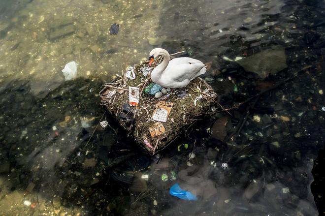 Hình ảnh gây sốc: Thiên nga đẻ trứng trong chiếc ổ làm bằng rác ở Copenhagen, Đan Mạch - Ảnh 1.