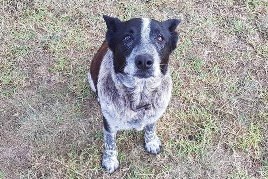 Dù điếc và mù một phần, chó cưng vẫn bảo vệ cô chủ 3 tuổi - Ảnh 1.