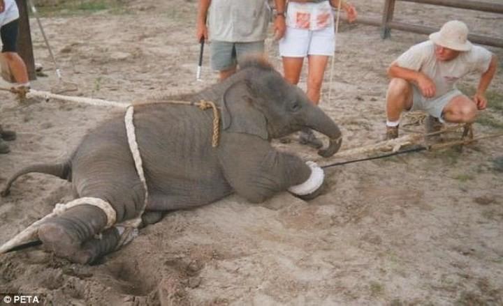 Chùm ảnh: Sự thật tàn nhẫn rớt nước mắt bên trong các rạp xiếc thú - Ảnh 3.