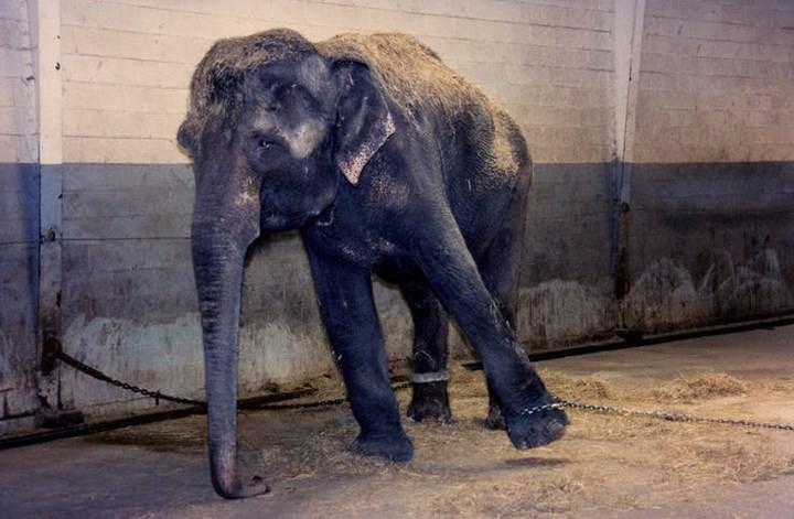 Chùm ảnh: Sự thật tàn nhẫn rớt nước mắt bên trong các rạp xiếc thú - Ảnh 10.