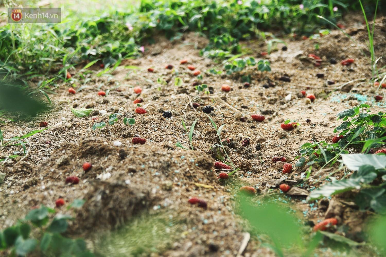 Tháng 4 Hà Nội, mùa dâu tằm chín mọng đã đỏ rực bên bờ sông Đáy - Ảnh 11.