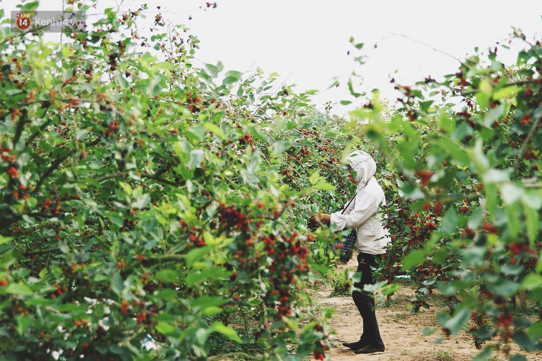 Tháng 4 Hà Nội, mùa dâu tằm chín mọng đã đỏ rực bên bờ sông Đáy - Ảnh 2.