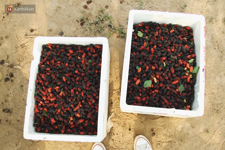 Tháng 4 Hà Nội, mùa dâu tằm chín mọng đã đỏ rực bên bờ sông Đáy - Ảnh 7.