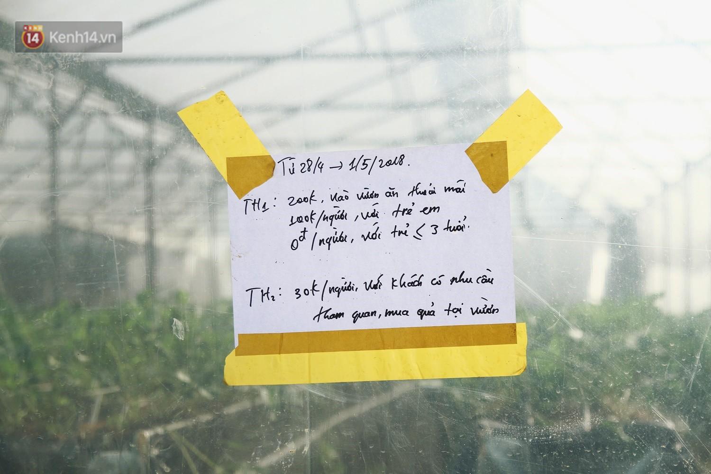 Vườn dâu tây nổi tiếng ở Sapa thu phí tham quan 4 ngày vì sợ không kiểm soát được ý thức du khách dịp lễ - Ảnh 3.