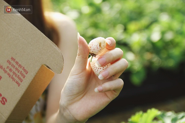 Vườn dâu tây nổi tiếng ở Sapa thu phí tham quan 4 ngày vì sợ không kiểm soát được ý thức du khách dịp lễ - Ảnh 8.