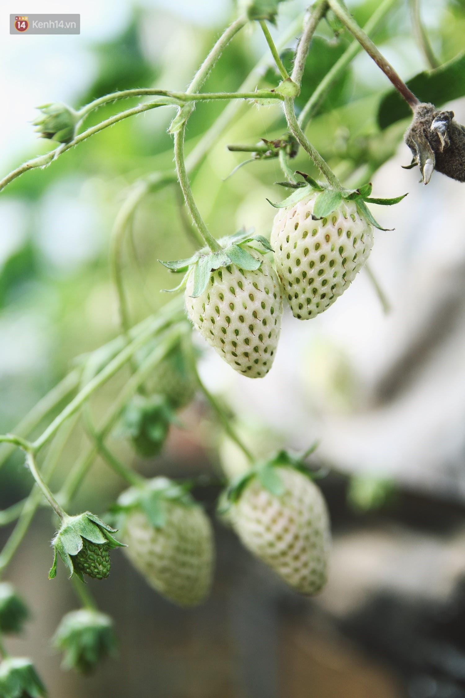 Vườn dâu tây nổi tiếng ở Sapa thu phí tham quan 4 ngày vì sợ không kiểm soát được ý thức du khách dịp lễ - Ảnh 7.