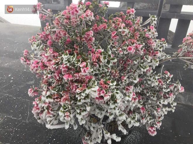 Chùm ảnh: Tuyết rơi mùa hè phủ trắng xóa đỉnh Fansipan đúng ngày Lễ hội Hoa đỗ quyên thơ mộng - Ảnh 4.