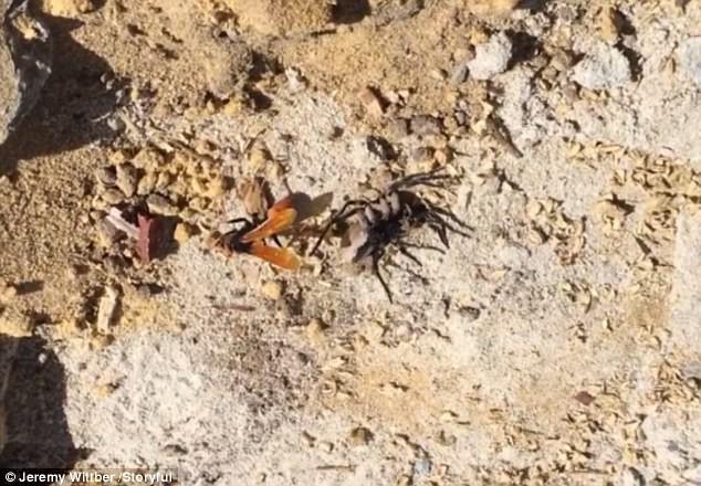 Trận tử chiến hiếm gặp: ong điên và nhện thợ săn khổng lồ - Ai là kẻ chiến thắng? - Ảnh 1.
