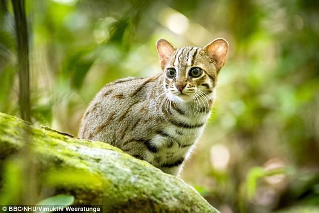 Thước phim siêu hiếm về loài mèo nhỏ nhất thế giới: bản năng bất chấp kích cỡ - Ảnh 1.
