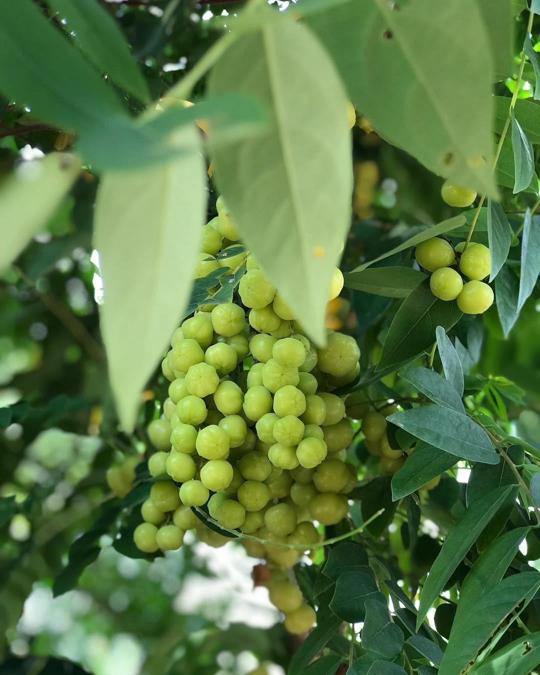 Điểm mặt những loại trái cây chua khiến hội ghiền ăn vặt phát cuồng ở Sài Gòn - Ảnh 1.