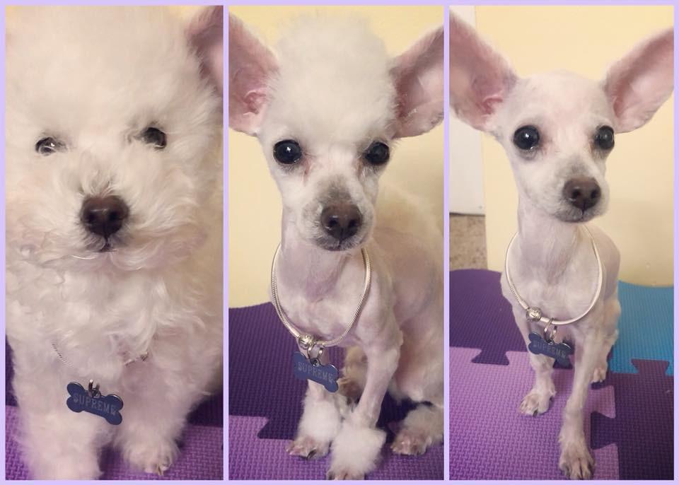 Bí mật mới được bật mí: Bên trong mỗi con poodle là 1 con chó phốc - Ảnh 1.