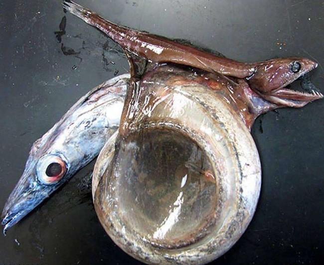 Con cá này sẽ giúp bạn hiểu vì sao đáy biển chỉ toàn là những cơn ác mộng - Ảnh 1.