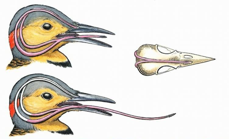 Ai cũng giật mình khi biết cách loài chim này cất cái lưỡi dài hơn cả đầu - Ảnh 2.