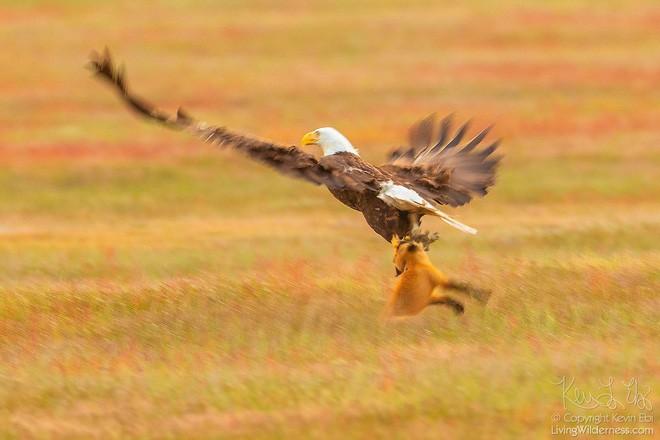 Nhiếp ảnh gia chụp được chùm ảnh siêu hiếm: Đại bàng nhấc bổng con cáo lên không trung, chiến đấu 8 giây vì con thỏ trong miệng cáo - Ảnh 3.