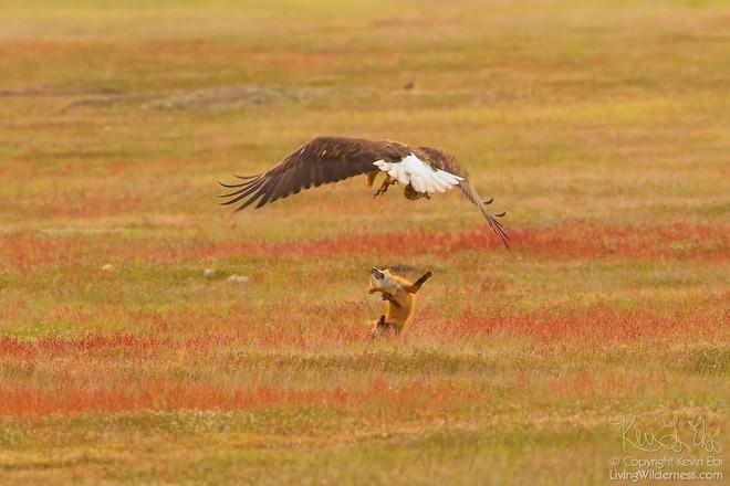 Nhiếp ảnh gia chụp được chùm ảnh siêu hiếm: Đại bàng nhấc bổng con cáo lên không trung, chiến đấu 8 giây vì con thỏ trong miệng cáo - Ảnh 8.