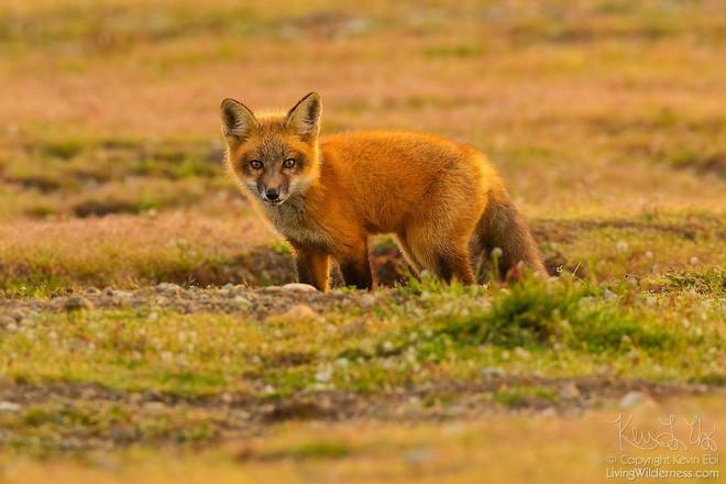 Nhiếp ảnh gia chụp được chùm ảnh siêu hiếm: Đại bàng nhấc bổng con cáo lên không trung, chiến đấu 8 giây vì con thỏ trong miệng cáo - Ảnh 9.