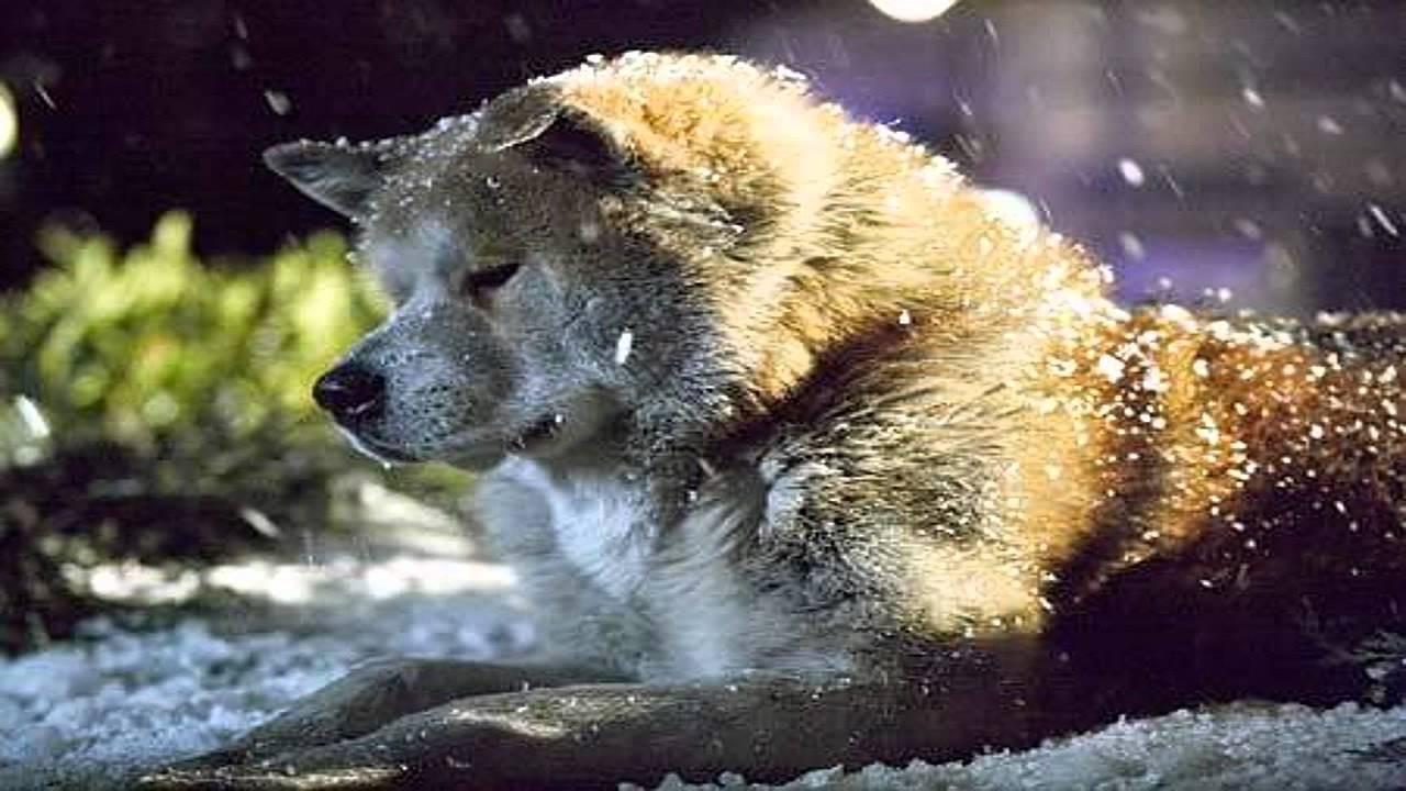 """""""Hachi: A Dog's Tale"""": Một chú chó có thể dạy bạn những gì, về tình yêu? - Ảnh 8."""
