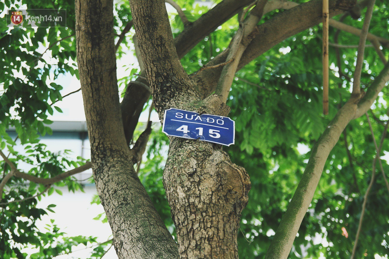 Người Hà Nội tiếc nuối hàng cây sưa quý hiếm chuẩn bị di dời để xây ga ngầm - Ảnh 5.