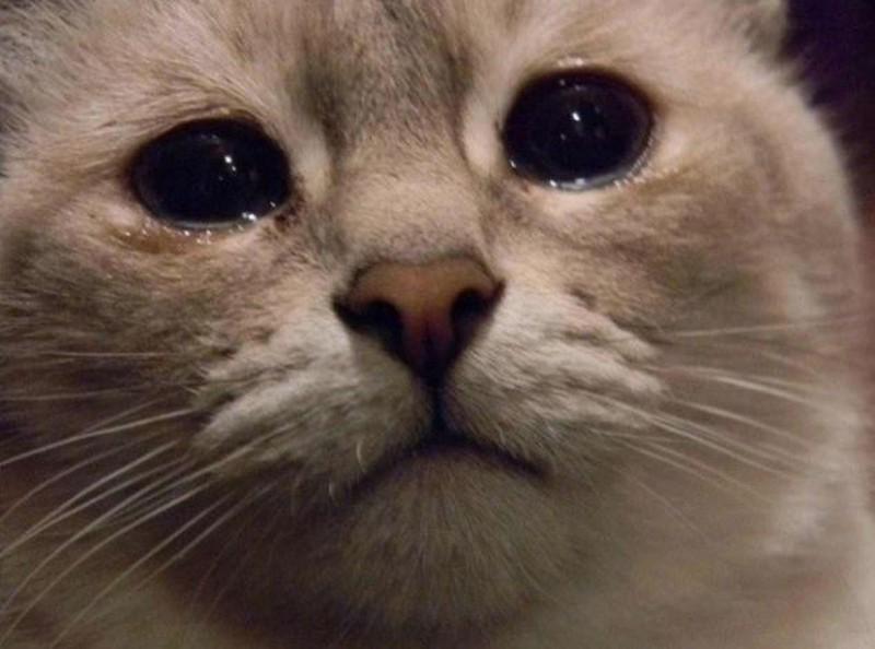 Mèo cũng biết khóc, và bạn phải cẩn thận với điều đó - Ảnh 1.