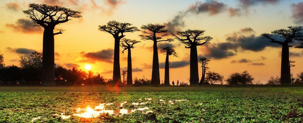 Loài cây đời biểu tượng ngàn năm của châu Phi đang chết hàng loạt mà không ai biết vì sao - Ảnh 3.