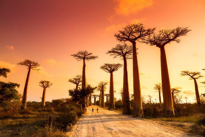 Loài cây đời biểu tượng ngàn năm của châu Phi đang chết hàng loạt mà không ai biết vì sao - Ảnh 1.
