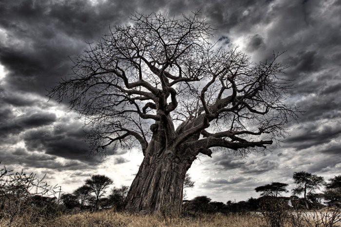 Loài cây đời biểu tượng ngàn năm của châu Phi đang chết hàng loạt mà không ai biết vì sao - Ảnh 2.