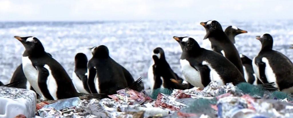 Tưởng rằng chim cánh cụt đang sống trên đảo rác, nhưng sự thật còn khủng khiếp hơn thế nhiều - Ảnh 1.