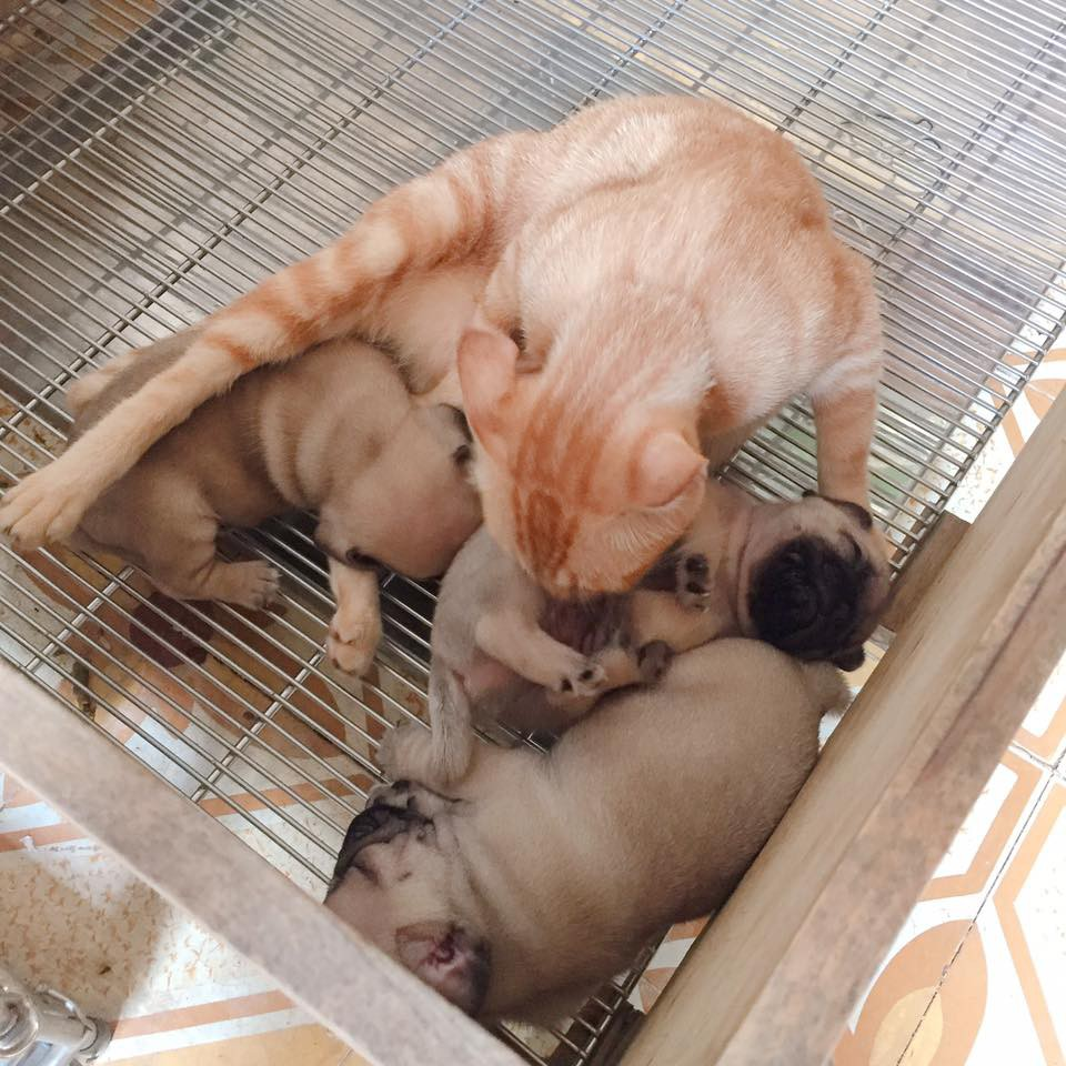 Quá buồn vì mất con nên mèo mẹ lén sang chăm sóc 3 chú chó con cho đỡ nhớ - Ảnh 1.