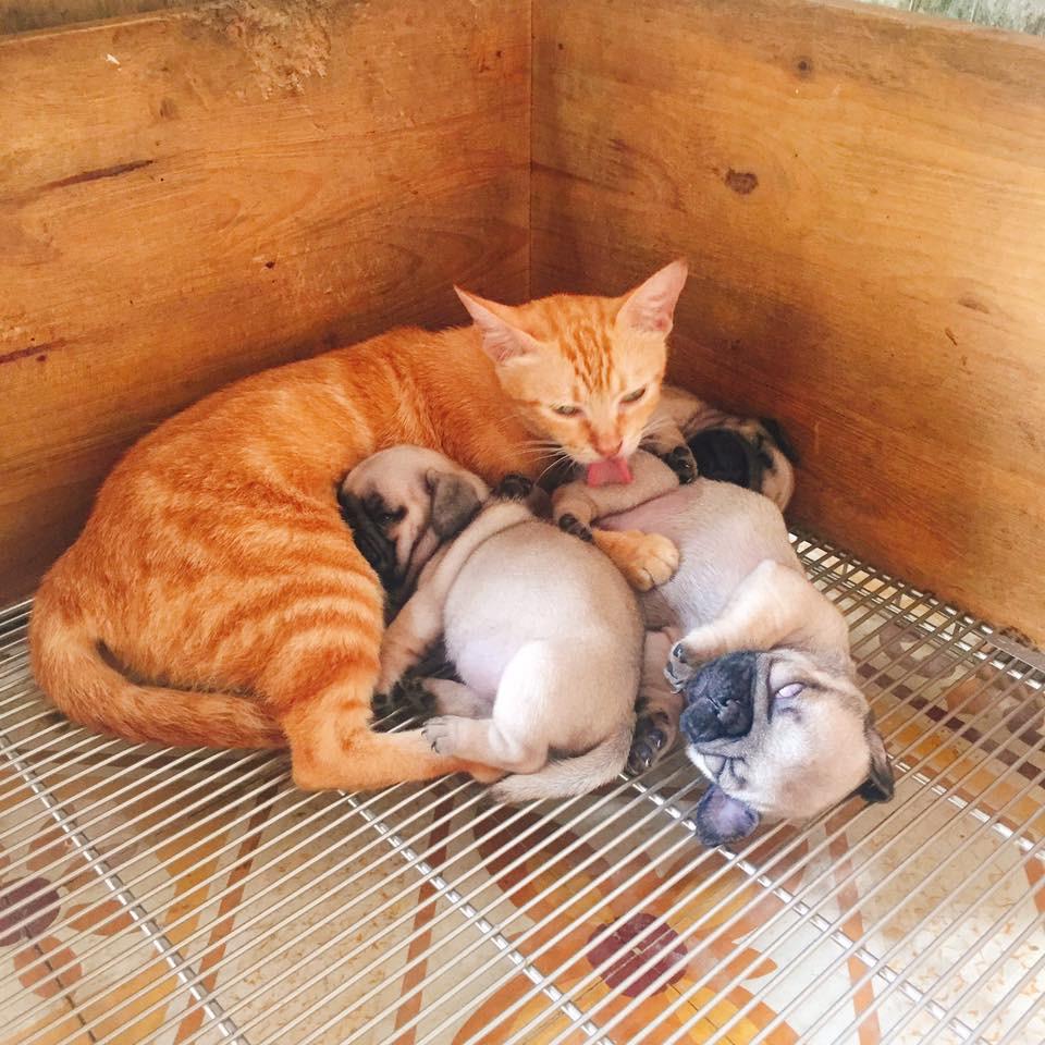 Quá buồn vì mất con nên mèo mẹ lén sang chăm sóc 3 chú chó con cho đỡ nhớ - Ảnh 2.