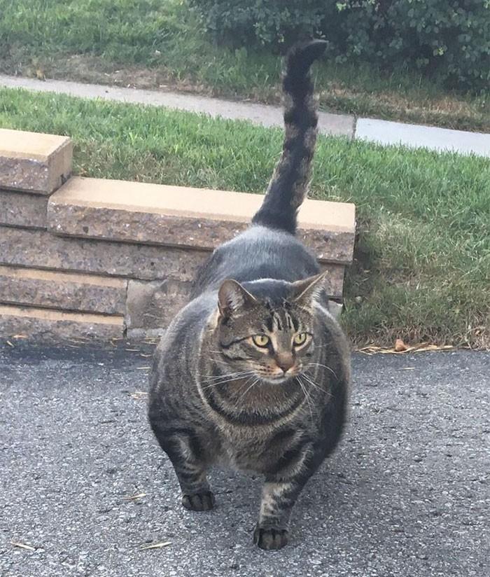 Sở hữu thân hình đô vật, boss mèo cơ bắp gây sốt trên MXH Twitter - Ảnh 1.