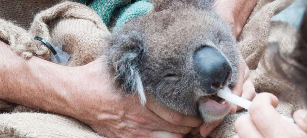 Chúng ta đã có cách cứu lấy loài gấu Koala, nhưng nó hơi kinh một chút - Ảnh 3.