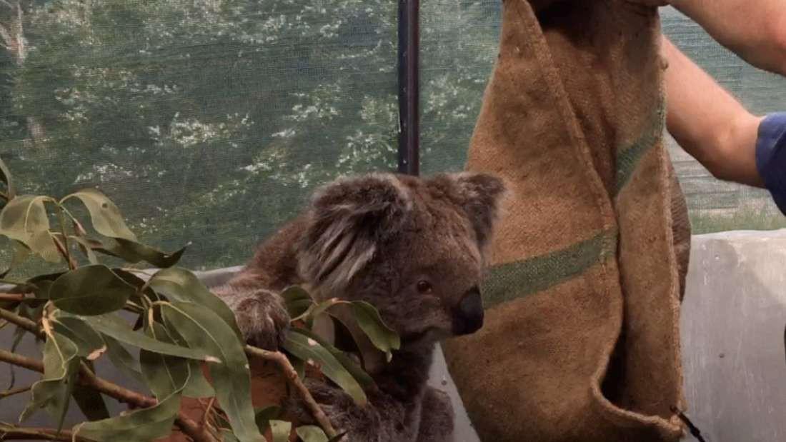 Chúng ta đã có cách cứu lấy loài gấu Koala, nhưng nó hơi kinh một chút - Ảnh 1.