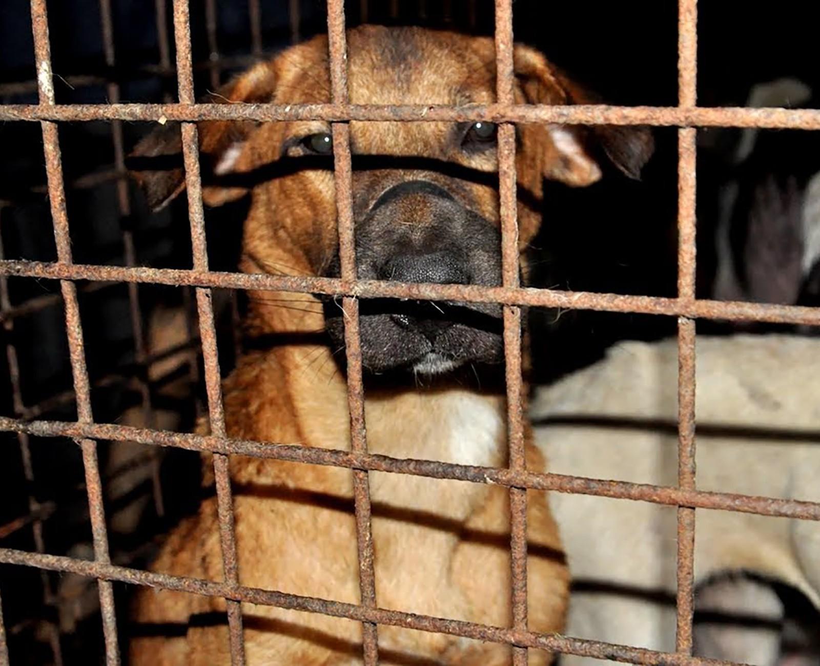 Chuyện ở những đất nước mà chó mèo có hai số phận: hoặc được cưng chiều hết mực, hoặc bị bắt nhốt dã man nằm thoi thóp chờ chết