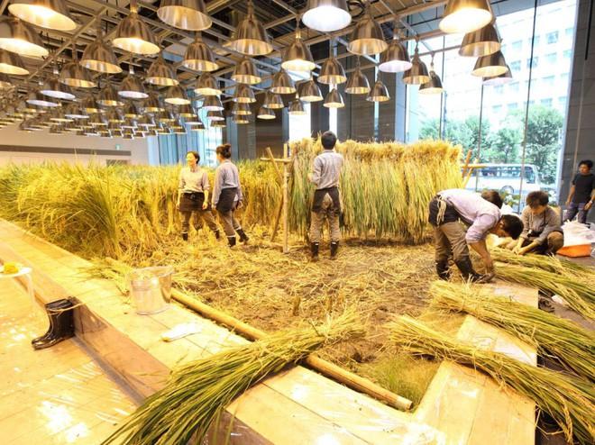 Công ty cho nhân viên trồng lúa trong văn phòng, cuối vụ đưa cả con đến gặt cho vui - Ảnh 3.