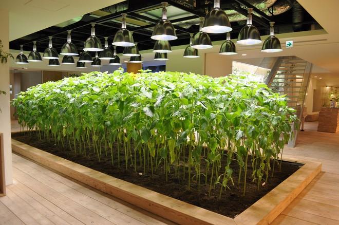 Công ty cho nhân viên trồng lúa trong văn phòng, cuối vụ đưa cả con đến gặt cho vui - Ảnh 14.