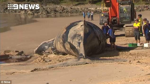 Giới chức trách Úc ra lệnh di chuyển khẩn cấp xác cá voi trương phồng phòng khi thảm họa này xảy ra - Ảnh 3.