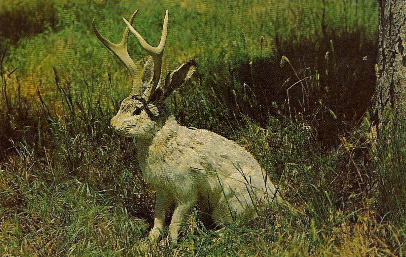 """Jackalope: Từ huyền thoại thỏ sừng nai trong truyện dân gian Mỹ đến những con thỏ """"quái vật"""" ngoài đời thực vì căn bệnh đáng sợ - Ảnh 4."""