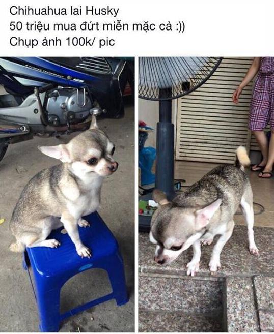 Nếu bạn chưa nhìn thấy con boss lai giữa Husky và Chihuahua bao giờ thì đây chính là nó - Ảnh 1.
