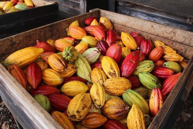 Hành trình biến hạt ca cao thành món chocolate vạn người mê qua lời kể của người thợ lành nghề - Ảnh 3.