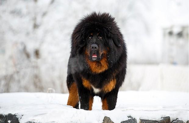Chó Ngao Tây Tạng Vẫn Cắn Chủ Dù Là Giống Chó Trung Thành Bậc Nhất