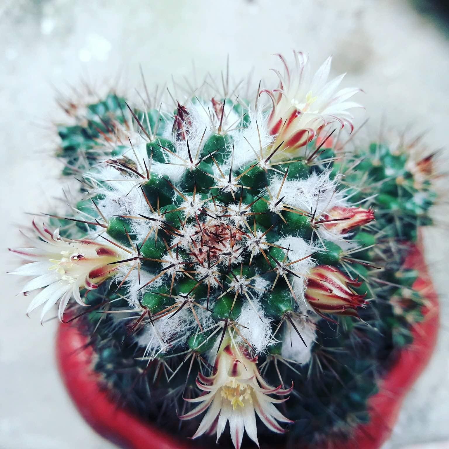 Cư dân mạng khoe trồng xương rồng ra hoa rực rỡ xem ai mát tay hơn - Ảnh 1.